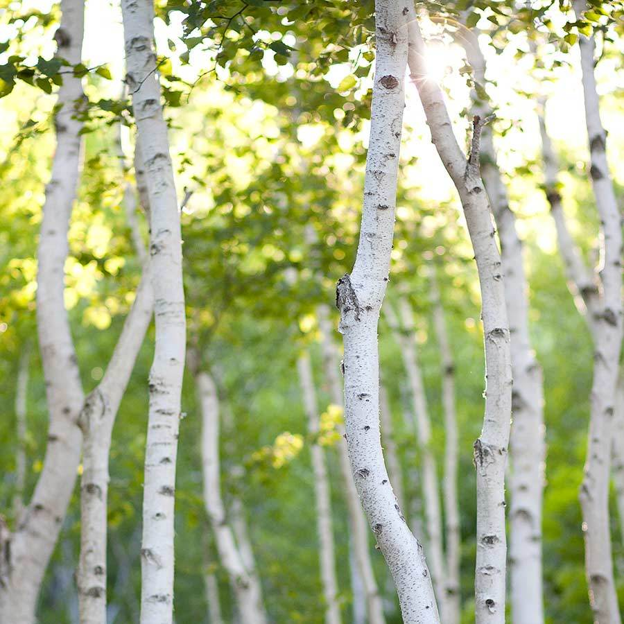 Image result for birch tree