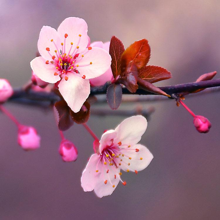 Japanese Cherry Blossom Fragrance Oil