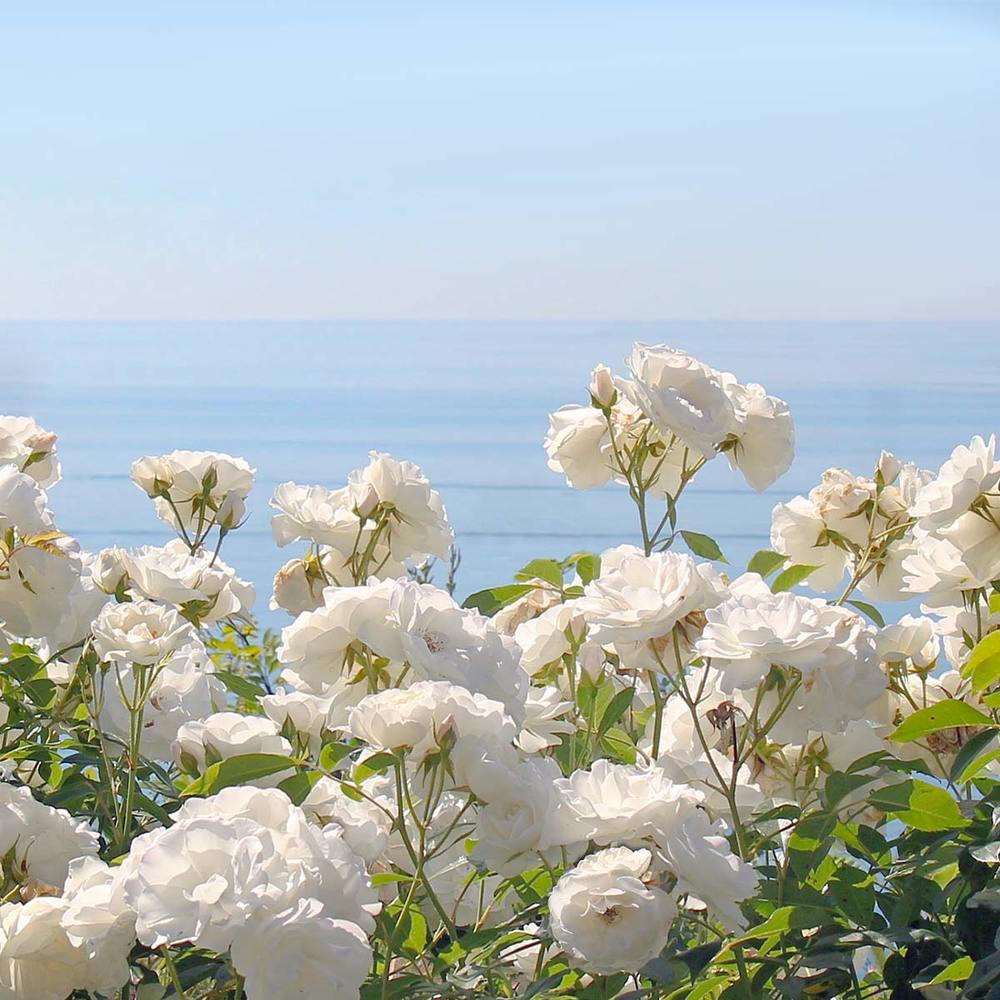 Ocean Rose Fragrance Oil