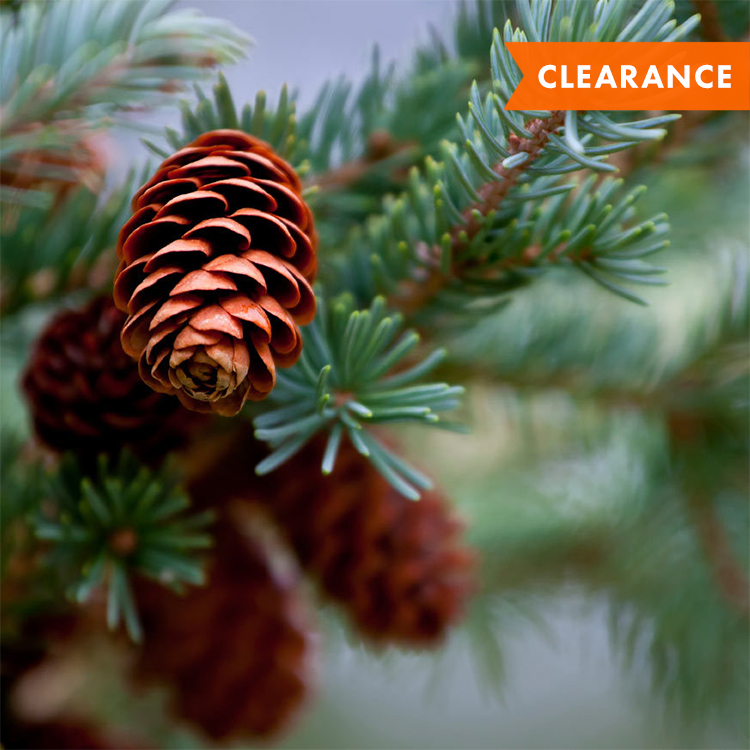 Pine cones clearance