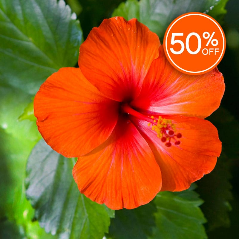 Island Hibiscus Fragrance Oil Candlescience