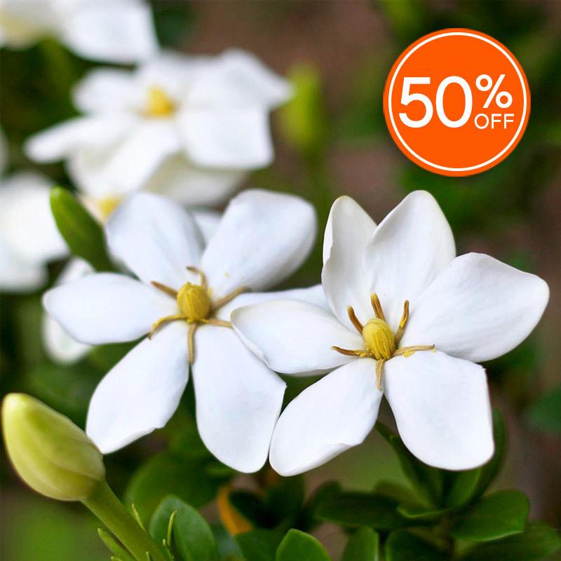 Gardenia (Discontinued Version)