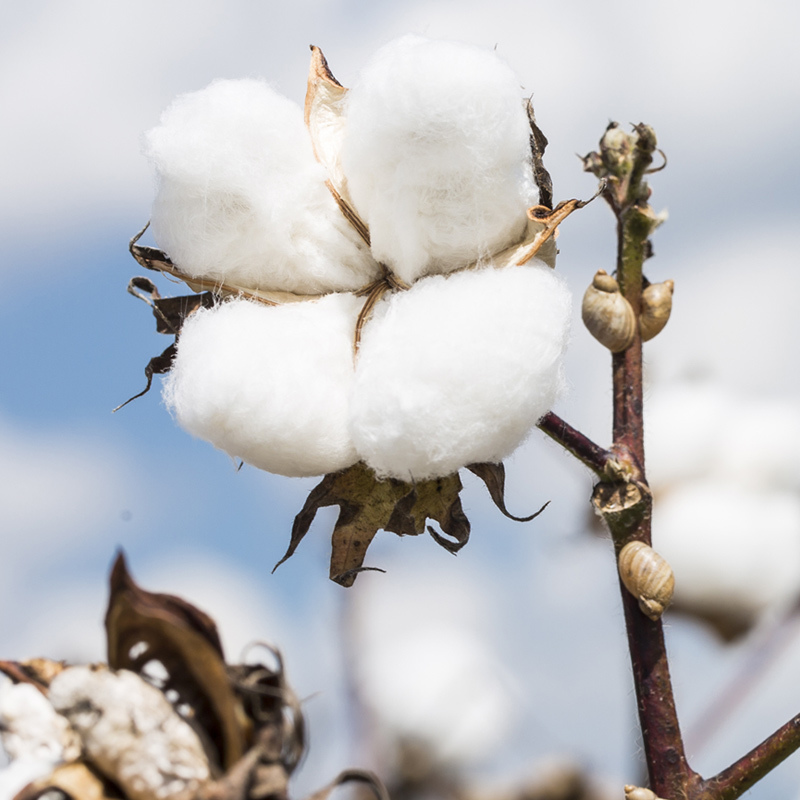 Cotton and Iris Fragrance Oil