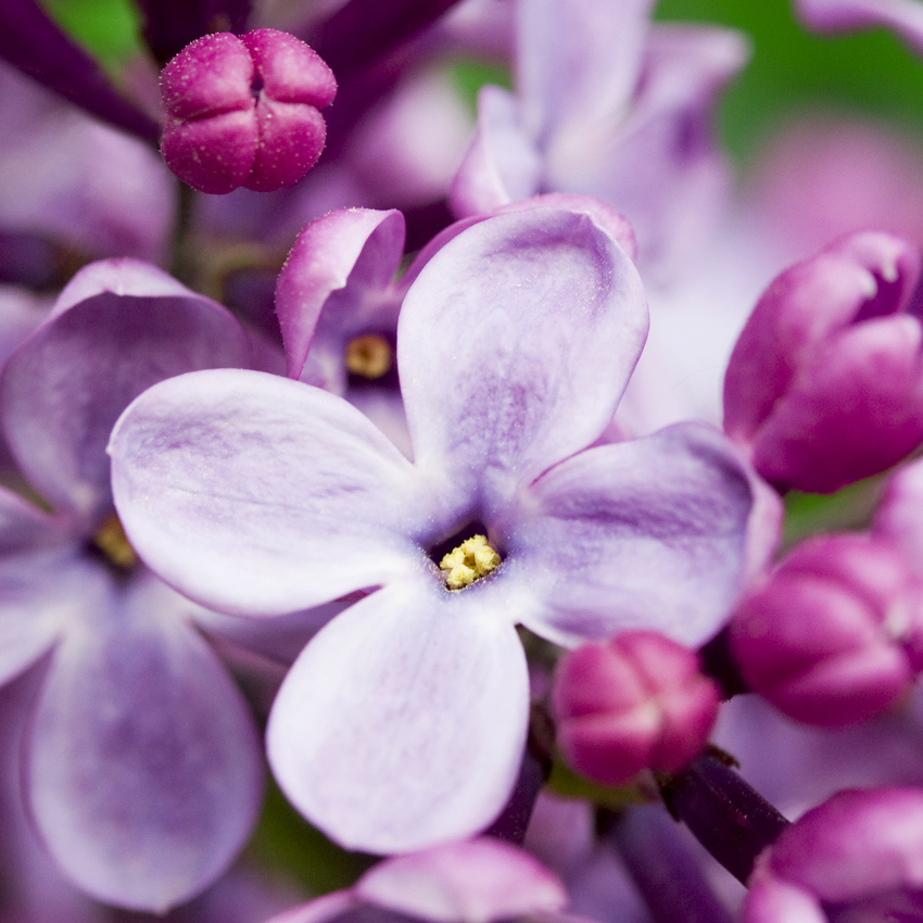 French Lilac Fragrance Oil Candlescience
