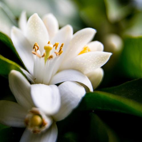 Neroli and White Jasmine