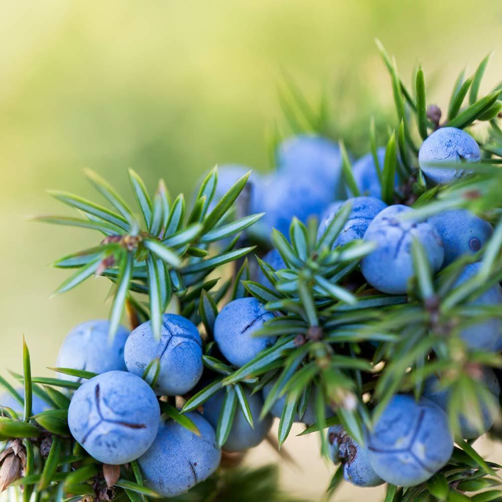 Cypress   berries 1000px