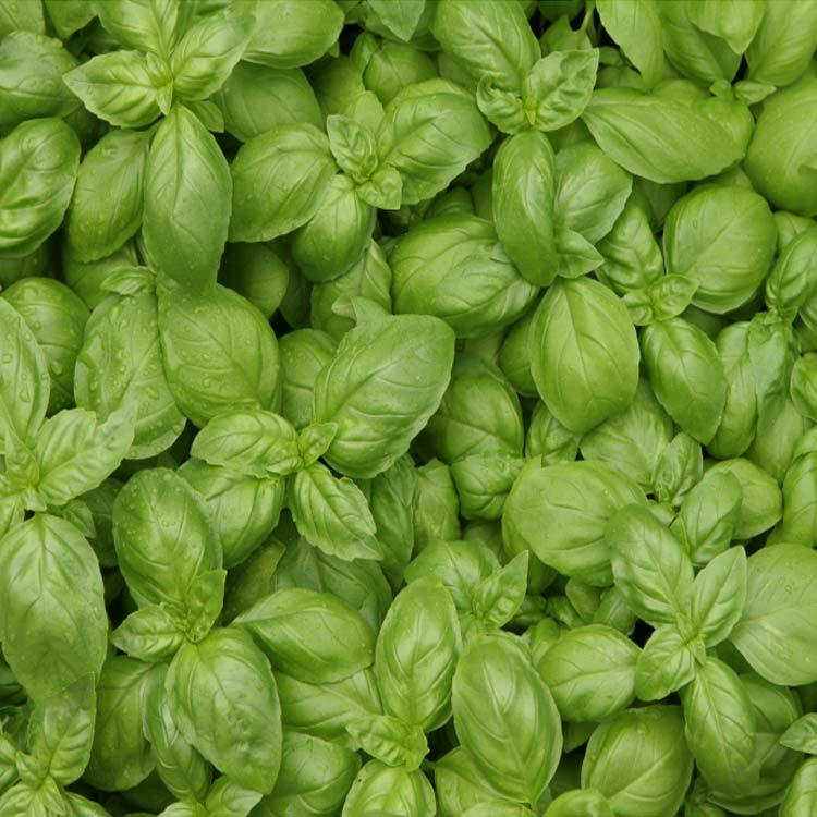 Basil and herb 750px
