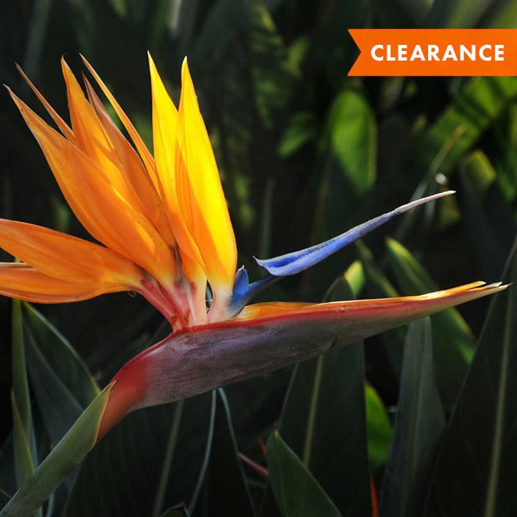 Bird of baradise clearance